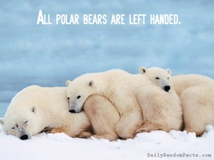 Polar-Bear-Fact