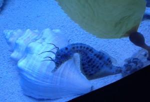 Pregnant male seahorse sarasota